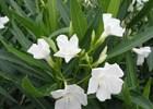 Oleander White Nerium oleander 'White'