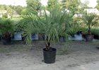 Palm Australian (Pindo) Butia capitata