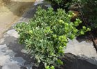 Pittosporum Compacta Pittosporum tobira 'Compacta'