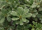 Pittosporum Variegated Pittosporum tobira 'Variegated'