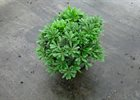 Pittosporum Wheelers Dwarf Pittosporum tobira 'Wheelers Dwarf'