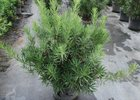 Podocarpus Maki Podocarpus macrophyllus 'Maki