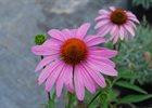 Echinacea Magnus - Purple Coneflower Echinacea purpurea 'Magnus'