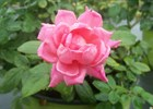 Rose Knock Out Double Pink PP#18507 Rosa 'Radtkopink' PP#18507 Double Pink Knock Out Rose