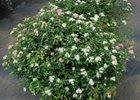 Spirea Shirobana Spiraea japonica 'Shirobana'