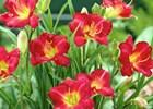 Daylily Stella Ruby Hemerocallis 'Ruby Stella'