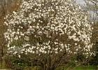 Magnolia Sweet Bay Magnolia grandiflora