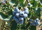 Blueberry Tiff Blue Vaccinium ashei