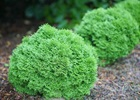 Arborvitae Tiny Tot Thuja occidentalis 'Tiny Tot'