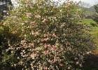 Quince 'Toyo-Nishiki' Chaenomeles japonica 'Toyo-Nishiki'