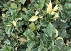 Jasmine Confederate 'Variegated' Trachelospermum jasminoides 'Variegatum'