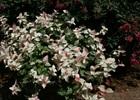 Jasmine Asiatic Variegated Trachelospermum asiaticum