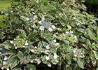 Hydrangea Variegated Hydrangea macrophylla 'Variegata'